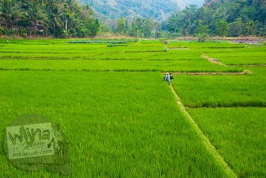 Hamparan sawah hijau di dekat Gua Sriti di Samigaluh, Kulon Progo
