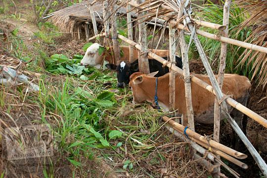 cara beternak sapi di wilayah kering gunungkidul yang susah air