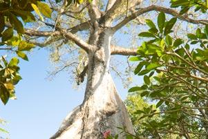 Masjid Kauman Pleret dan Pohon Randu Raksasa
