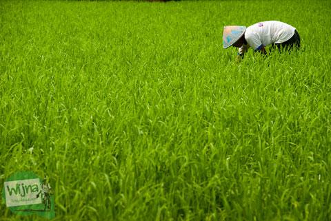 Festival Memedi Sawah di Desa Wisata Candran, Kebonagung, Imogiri, Bantul