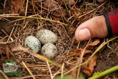 Grosir telur burung puyuh berkualitas dengan gratis ongkos kirim ke jabodetabek