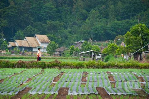hamparan ladang milik warga yang bermukim di sekitar danau batur, kintamani, Bali rusak karena pasang naik