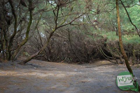 Jenis-jenis cemara yang hidup di pantai Gua Cemara, Bantul