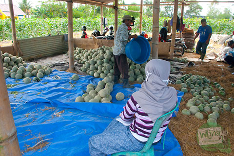 panen buah melon di ladang melon di kalitirto, berbah, sleman