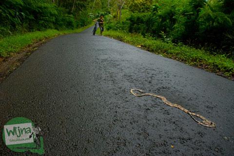 Bangkai ular yang mati mengenaskan di tanjakan menuju Gua Kiskendo, Kulon Progo, Yogyakarta