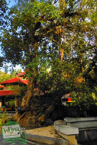 Pohon Jambu Klampok di Sendang Klampok, Mata air pengharapan di Salamrejo, Sentolo, Kulon Progo pada Maret 2014