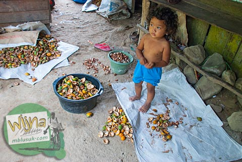 gadis belia pengupas buah pinang di pelosok Padang, Sumatra Barat.