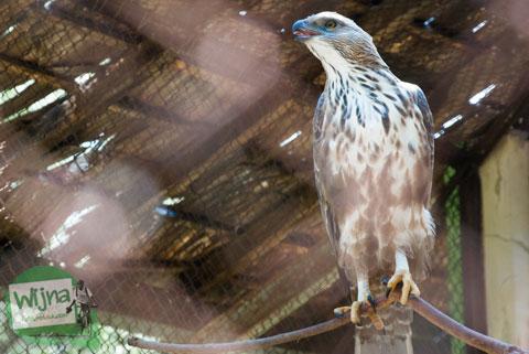 Foto burung rajawali di Taman Satwa Taru Jurug Surakarta pada tahun 2014