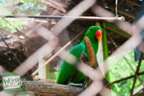 Foto burung kakaktua hijau di Taman Satwa Taru Jurug Surakarta pada tahun 2014