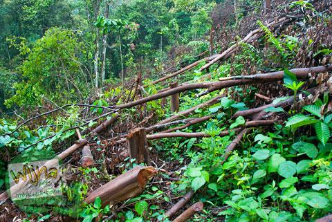 Pohon-pohon tumbang di dekat Air Terjun Pendung, Kerinci, Jambi