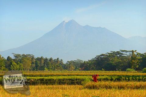 pemandangan sawah di Karangnongko, Klaten dengan latar langit biru dan gunung merapi pada pagi hari