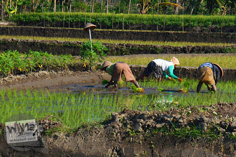 pemandangan ibu-ibu tua yang bertani di sawah di Karangnongko, Klaten