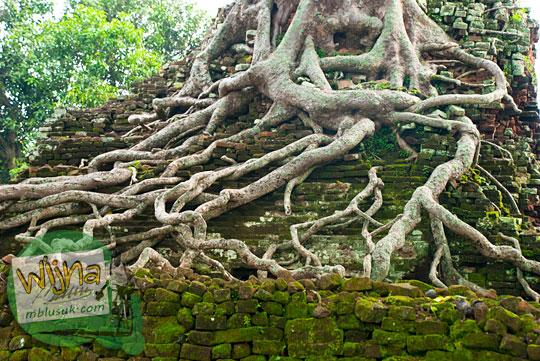 Akar pohon besar membelit batu bata penyusun Candi Lor Nganjuk di tahun 2015