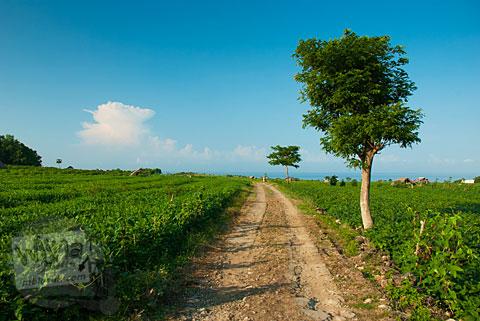 Jalan Setapak di sepanjang Ladang Kedelai di Pantai Buyutan, Pacitan, Jawa Timur