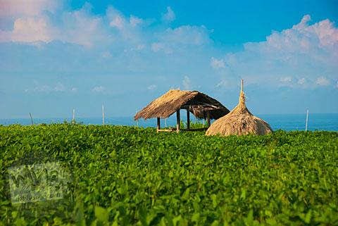 Pemandangan Menawan Ladang Kedelai di Pantai Buyutan, Pacitan, Jawa Timur