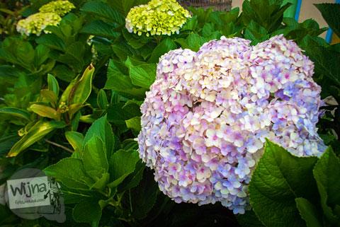 Bunga hydrangea atau bunga hortensia yang menjadi komiditas Desa Tulungrejo, kota Batu, Jawa Timur