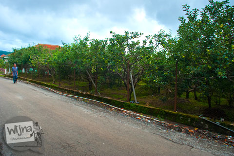 pohon-pohon apel Malang yang tumbuh di pekarangan rumah warga Desa Tulungrejo, kota Batu, Jawa Timur