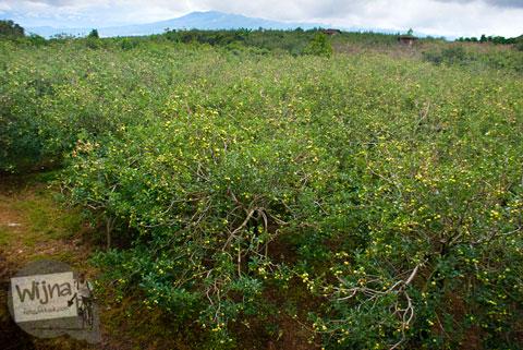 hamparan kebun apel luas yang ada di Desa Tulungrejo, kota Batu, Jawa Timur