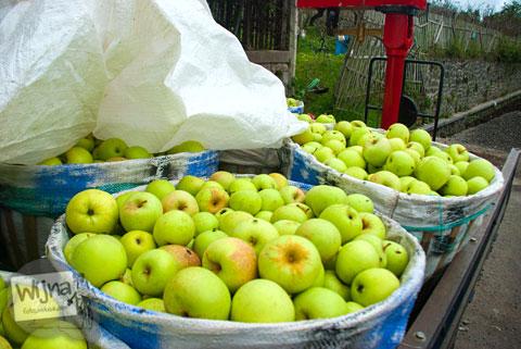 apel-apel malang dari Desa Tulungrejo, kota Batu, Jawa Timur yang sudah dipanen disimpan dalam keranjang