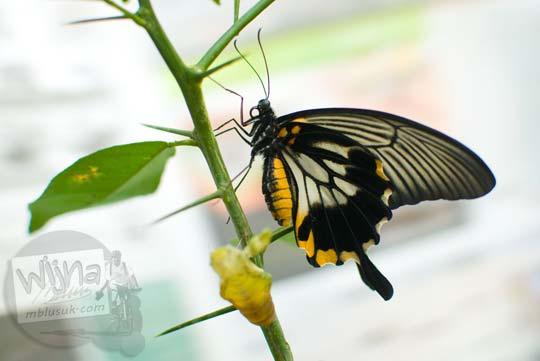 Tips memotret kupu-kupu menggunakan DSLR pemula