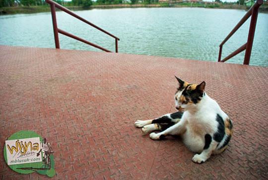 Kucing belang tiga di kawasan Museum Sriwijaya Palembang Sumatra Selatan