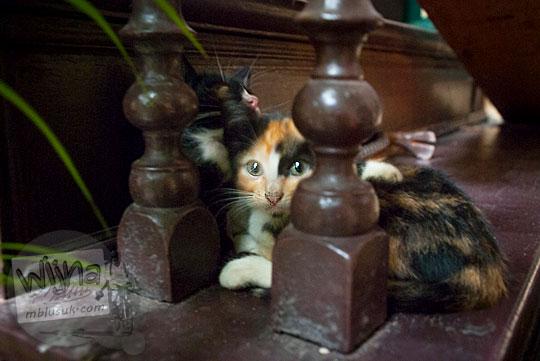 Anak kucing peliharaan lucu di Rumah Tjong A Fie, Medan pada September 2014