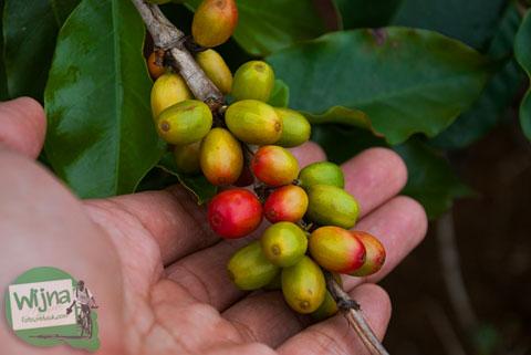 biji kopi robusta terkenal khas pesisir danau toba sumatera utara