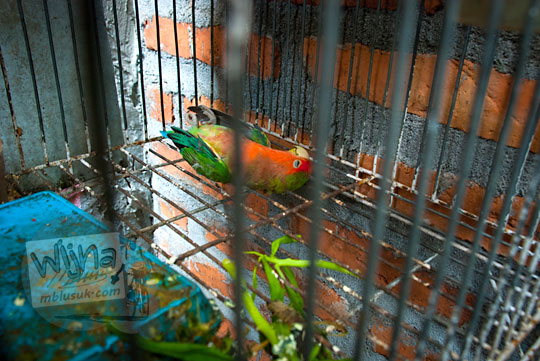 penyebab burung parkit sakit mati di dalam sangkar