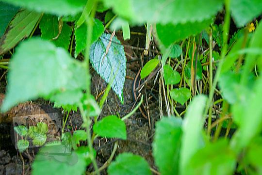 ular berbisa di hutan Ngliseng, Muntuk, Dlingo, Bantul