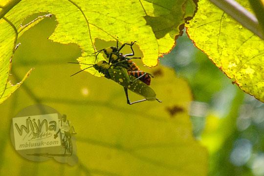 serangga kinjing tangis garengpung di hutan Ngliseng di desa Muntuk, Dlingo, Bantul