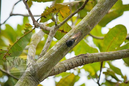 belalang sedang kawin di hutan Ngliseng di desa Muntuk, Dlingo, Bantul