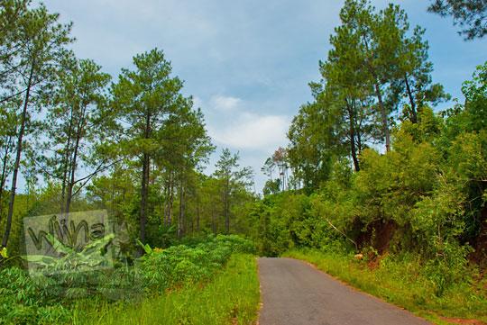 hutan pinus Ngliseng di desa Muntuk, Dlingo, Bantul