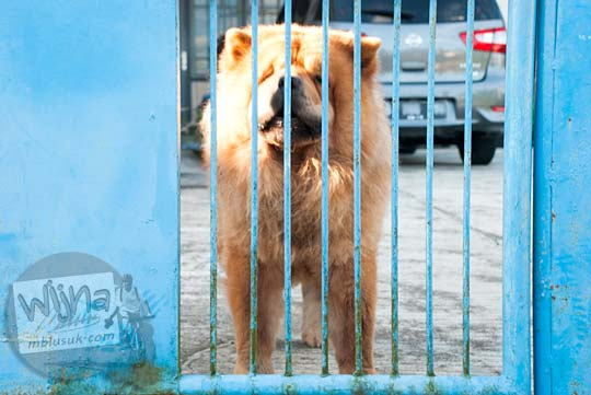 Anjing ras yang dipelihara warga di Kota Tanjung Pandan, Belitung pada tahun 2016