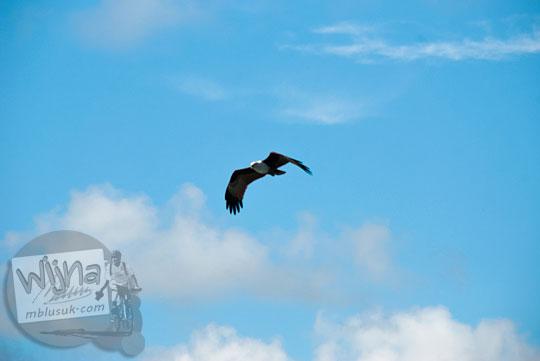 Burung elang liar terbang bebas di sekitar dermaga pasar Tanjung Pandan, Belitung pada tahun 2016