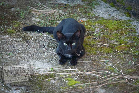 Kucing hitam yang dipelihara warga di Kota Tanjung Pandan, Belitung pada tahun 2016