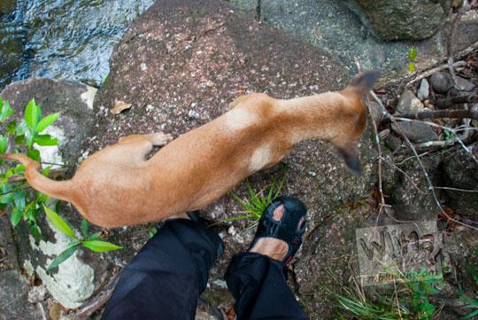Ditemani anjing hutan mistis yang ramah di dalam Hutan Taman Wisata Alam Batu Mentas saat perjalanan ke air terjun di Belitung Maret 2016