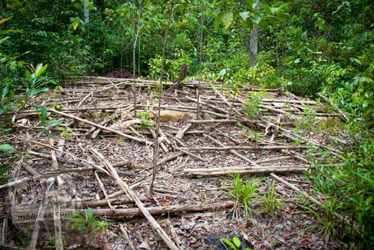 aksi penebangan liar di dalam Hutan Taman Wisata Alam Batu Mentas di Belitung Maret 2016