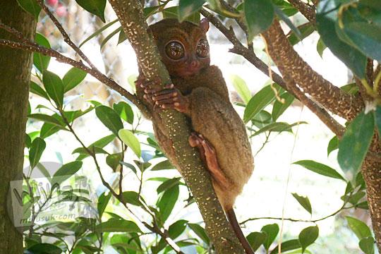 fakta menarik hewan satwa langka Tarsius bancanus saltator yang hidup Hutan Gunung Tajam di penangkaran Taman Wisata Alam Batu Mentas di Belitung Maret 2016