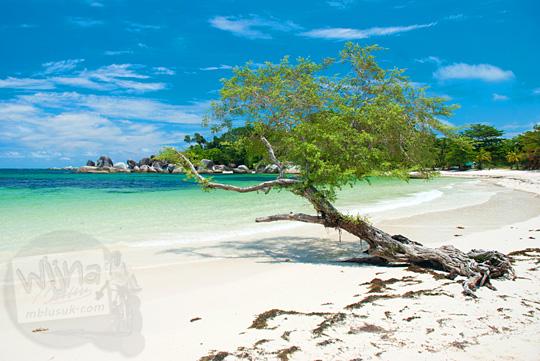 pohon cantik fotogenik posisinya dekat laut di hamparan pasir putih Pantai Tanjung Tinggi pada Maret 2016