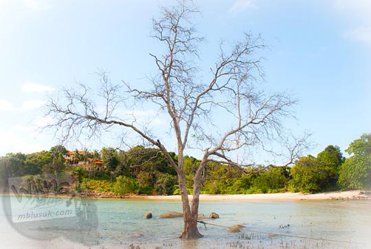 pohon kering mati yang fotogenik buat instagram di pinggir pantai Bukit Berahu Belitung pada Maret 2016