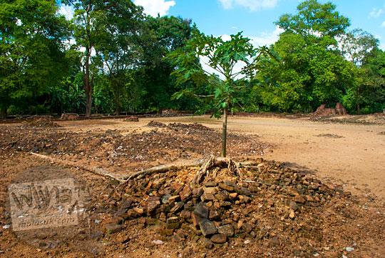 laporan penelitian mahasiswa sejarah arkeologi terkait lapuknya batu bata di Candi Gedong 1 di Kompleks Candi Muaro Jambi dengan kandungan kesuburan tanah yang tinggi sehingga tanaman pepaya bisa tumbuh subur