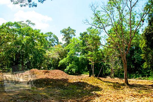 Pemandangan hamparan batu bata merah di Candi Sialang Muaro Jambi dengan pohon sialang tempat lebah hutan bersarang menghasilkan madu pada April 2015