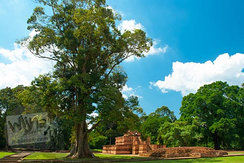 Pohon tua besar yang tumbuh di dekat Candi Tinggi di Kompleks Percandian Muaro Jambi pada bulan April 2015