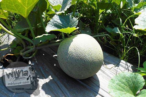 kebun melon yang ada di jalan menuju Pantai Trisik, kecamatan Galur, Kulon Progo di tahun 2015