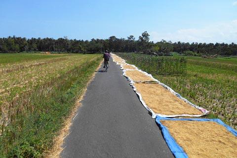 bersepeda di sawah-sawah kecamatan Galur, Kulon Progo di tahun 2015