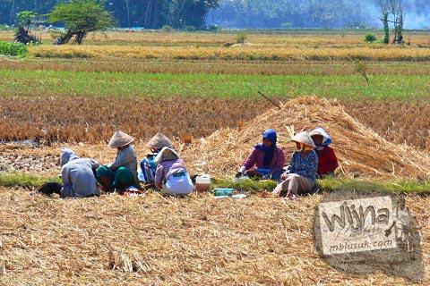 petani-petani berusia tua di sawah-sawah kecamatan Galur, Kulon Progo di tahun 2015