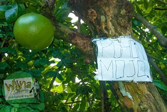 bentuk buah Mojo asal-usul Majapahit yang tumbuh subur di dekat Candi Borobudur, Magelang, Jawa Tengah