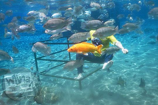 Ikan-ikan di Umbul Ponggok, Klaten yang menganggu pose pengunjung saat hendak berfoto di dalam air