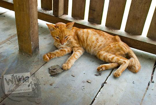 kisah foto seekor kucing berbulu coklat loreng kurus wajah sayu penunggu pendopo dermaga kanal tua danau kelari muaro jambi pada tahun 2015