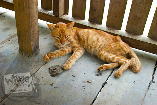 kisah foto seekor kucing berbulu cokelat loreng kurus wajah sayu penunggu pendopo dermaga kanal tua danau kelari muaro jambi pada tahun 2015